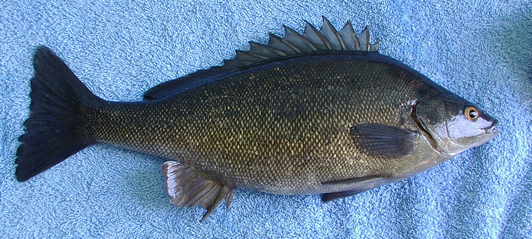 Silver perch bidyanus bidyanus nswaqua is your for Perch fish facts