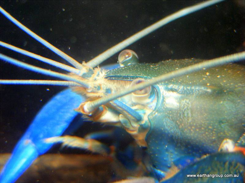 Seafood Sellers and Exporters are Looking for Yabby Suppliers