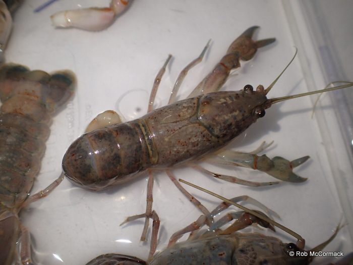 "A yabby with ""Burn Spot"" disease"