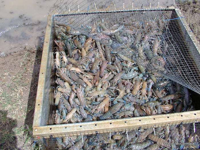 Farm Dam Yabbies