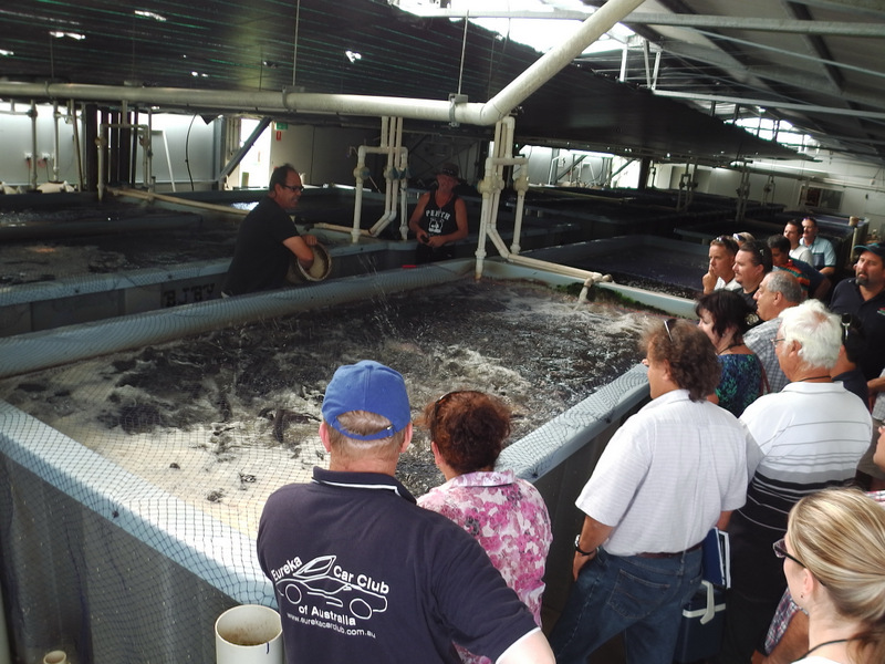 Feeding a recirculating aquaculture tank full of Barramundi at Tailor Made Fish Farm