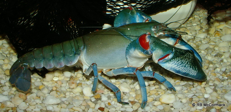 The Yabby Cherax destructor