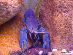 Aquarium Blue Yabby