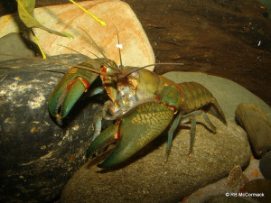 Dam yabbies