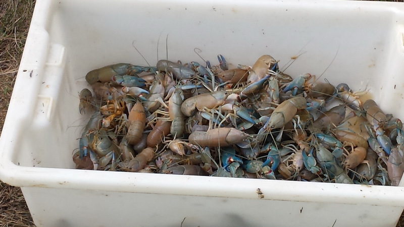 Some of the yabbies captured