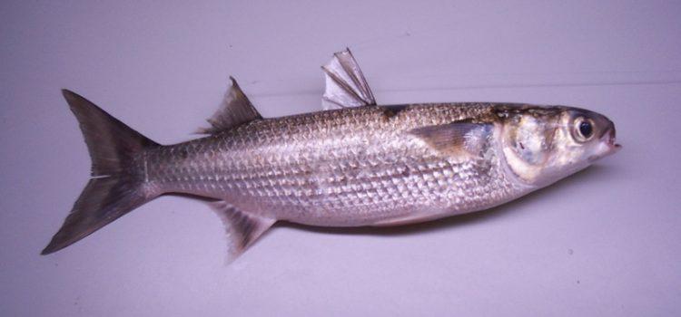 Sea Mullet (Mugil cephalus)