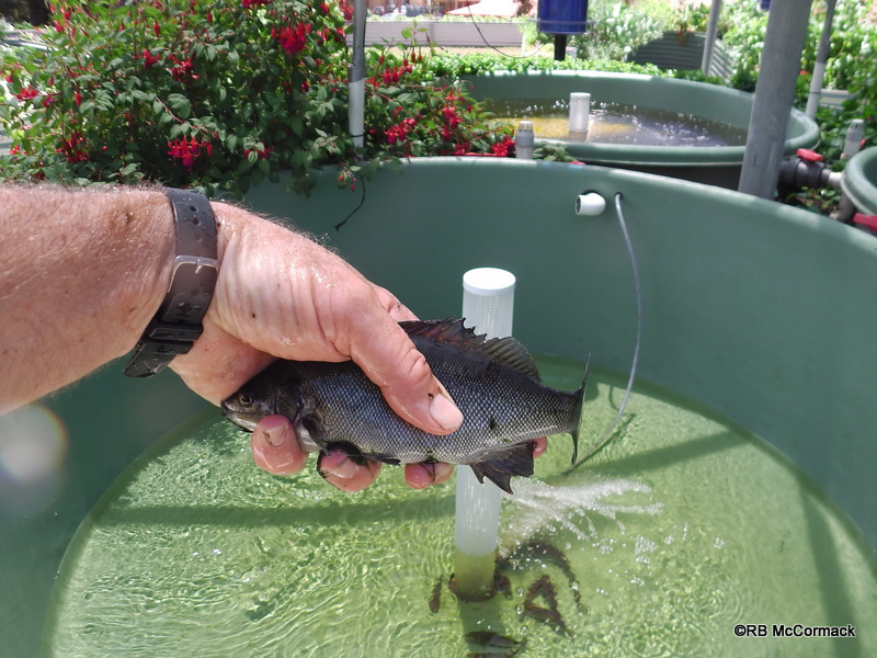 The same silver perch from an outside aquaponic tank at the start of December in 20.2 deg C water
