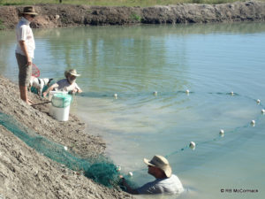Seine netting silver perch broodstock in a large AustSivers dam