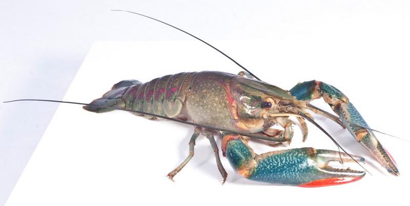 The Redclaw Cherax quadricarinatus