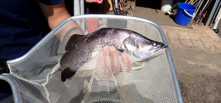 Mark Lee Fish Farm Barramundi