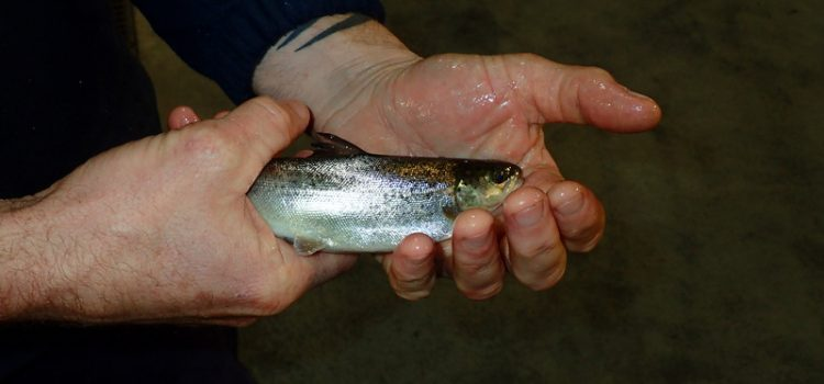 Small salmon like this are added to the cages and 12 months later harvested at 4-5kgs