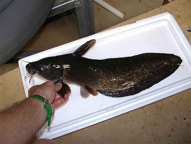 Eel Tailed Catfish (Tandanus tandanus)   NSWAqua is your